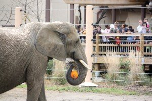Cleveland Metroparks Zoo female Martika in the Savanna Range photographed with a pumpkin treat from Halloween. The zoo uses its elephant population to teach guests about the issues surrounding these highly intelligent and endangered creatures.